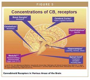 Cannabinoid Receptors in Various Areas of the Brain