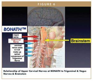 Relationship of Upper Cervical Nerves at BONATH to Trigeminal & Vagus Nerves & Brainstem